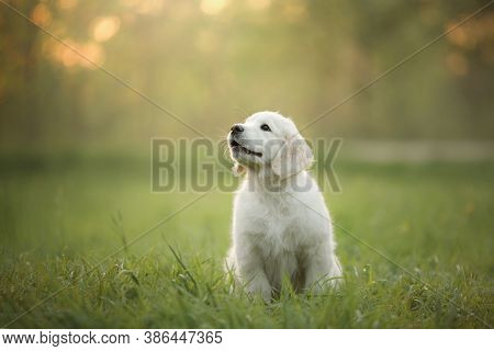 Golden Retriever Puppy On The Grass. Happy Dog Walking In The Park.