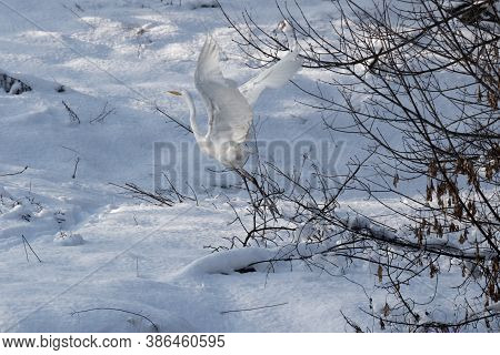Great White Heron In White Snow Wind During Cold Winter. Wildlife Scene From Nature. Heron In A Natu
