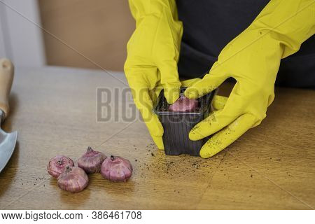Close-up Of Planting A Flower Bulb In The Ground In A Pot. Housewife Caring For Plants. Growing And