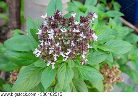 Top View Of Big Bunch Of Basil Flowers.sweet Basil, Thai Basil,herbs And Vegetables.