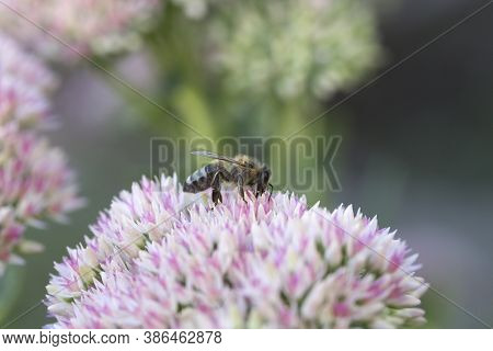 Macro Of Honey Bee (apis) Feeding On Pink (rose) Flower