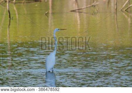 A Great White Egret Wading In A Shallow Area Of Water Under The Shade Of A Tree On The Nearby Shorel