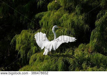 A Great White Egret Using Is Powerful Wings To Slow Down As It Reaches Out To Land High In The Branc