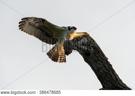 An Osprey With Its Powerful Wings Spread And Glowing In The Morning Sunlight As It Reaches Out With