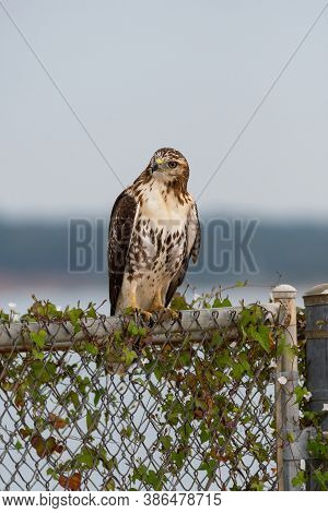 Red-tailed Hawk Perched On A Vine Covered Chain Link Fence And Looking Off To The Side With Its Head