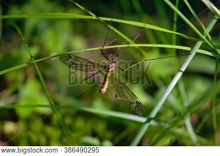 Tipula Oleracea Mosquito Or Daddy-long-legs On Grass With Green Background.