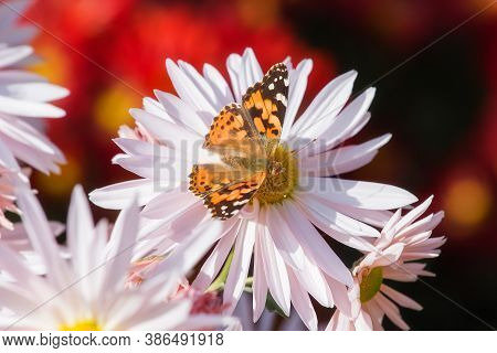 Butterfly Vanessa Cardui Sits On A Chrysanthemum. Chrysanthemum Background With A Copy Of Space. But