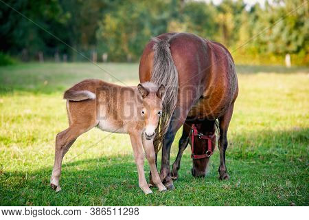 Mule Foal With Mare On The Grass. A Mule Is The Offspring Of A Male Donkey (jack) And A Female Horse