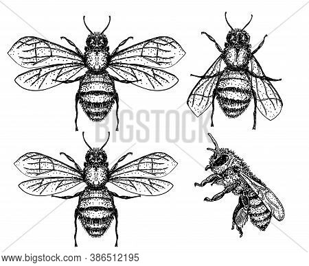 Bee Sketch Set. Honey Bee Vintage Vector Drawing. Hand Drawn Isolated Insect Sketch. Engraving Style