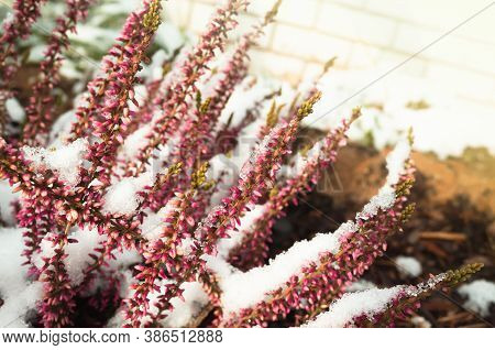 Heather Flowers Covered With Snow, Natural Macro Photo. Calluna Vulgaris Known As Common Heather, Li