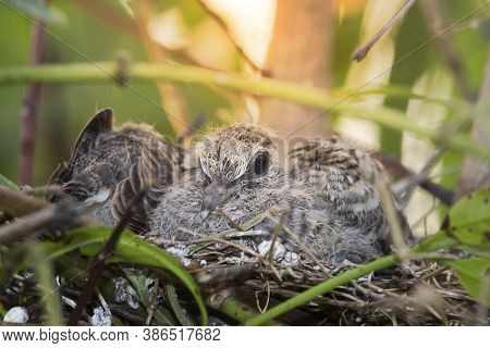 A Small Bird In The Nest Is Waiting For Food From The Bird's Parents.geopelia Striata,the Same Speci
