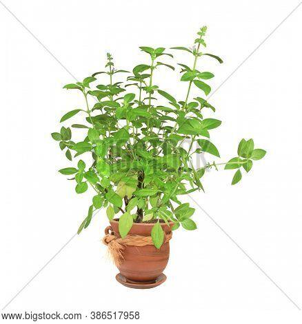 Branch of Lemon basil (Hoary basil, Ocimum africanum) with green leaves. Sprigs of Thai lemon basil in flowerpot. Lao basil bush in a flower pot. Isolated on white background
