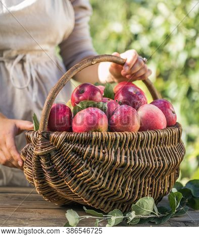 Woman With Basket Full Of Ripe Apples In A Garden. Apple Harvest. Autumn Concept. Fresh Apples. Appl