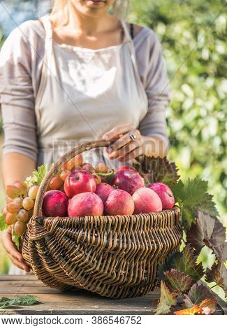 Woman With Basket Full Of Ripe Apples In A Garden. Apple Harvest. Autumn Concept. A Wicker Straw Bas