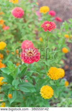 Blooming Colorful Zinnia At Vigorous Flower Bed In Community Allotment Near Dallas, Texas, Usa