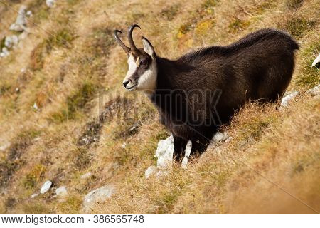 Tatra Chamois Standing On A Meadow In Autumn Mountains.