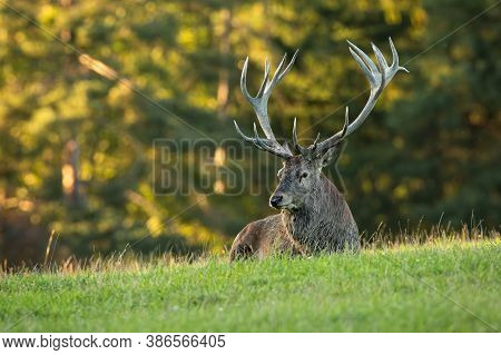 Tired Red Deer Stag Lying On Meadow In Summertime Nature.