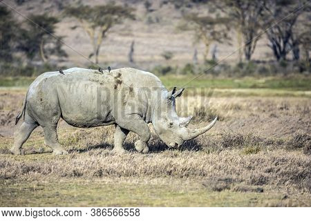 Lonely rhino grazing in the grass. African savannah on the shores of Lake Nakuru. Great Rift Valley. The famous African Big Five.