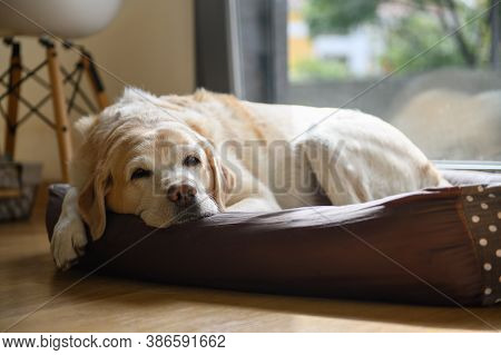 An Elderly Labrador Is Dozing In His Bed. Home Shooting.
