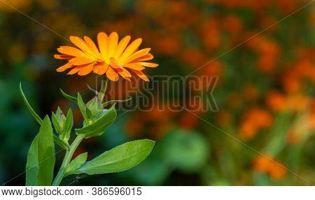 Summer, Garden Flower. Golden-orange Gazania With Green Leaves. Decorative Flowering Plant Of The As
