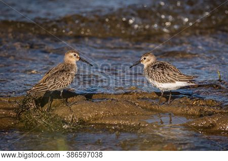 Portrait Of Two Dunlins, Juvenile Stocky Shorebirds With Brownish Faces, Standing Face To Face In Mu