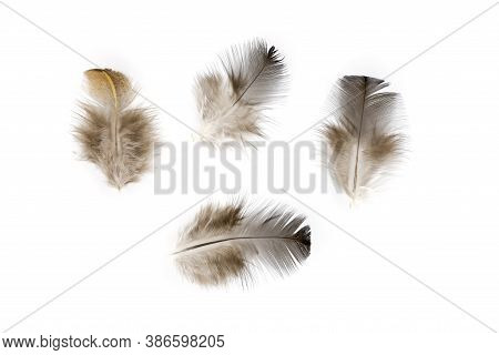 Brown Chicken Feather Flat Lay Isolated On White Background. Fluffy Feather From Pillow Or Cover Bla