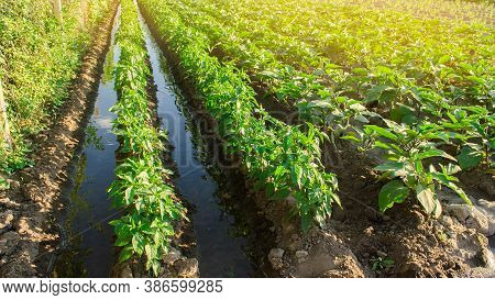 Irrigation And Growing Young Pepper In The Field. Watering Of Agricultural Crops. Farming And Agricu