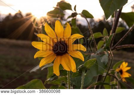 Close Up Of A Sunflower With The Sun Setting In The Background