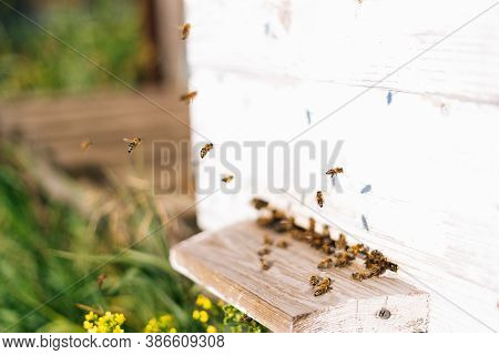 Close-up Swarm Of Honey Bees Carrying Pollen To Beehive In Bright Summer Sunny Day At Apiary. Swarm