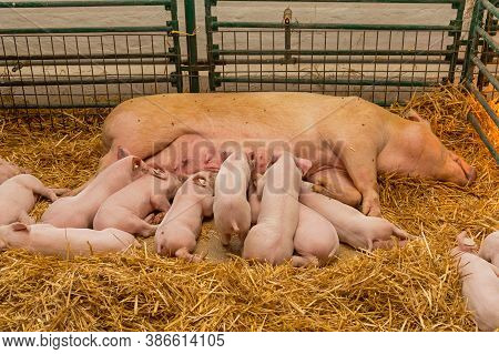 Sow And Suckling Piglets In Straw At Farm