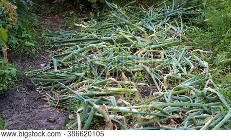 A Glade Of Ripe Onions. Onion Feathers Lie On The Ground. Growing Onions In The Garden. Autumn Harve