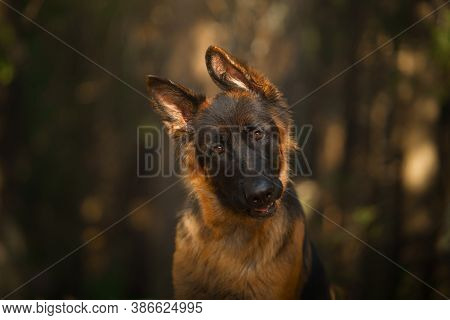 Portrait Of A German Shepherd Dog In The Forest. Dog In Nature