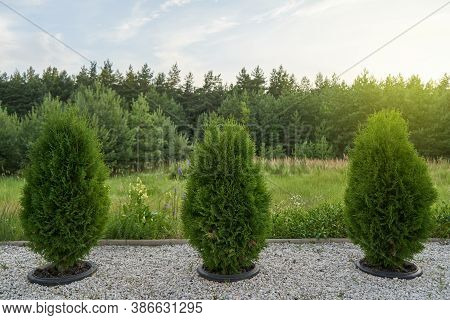 Young Thuja In Pots Dug In The Ground