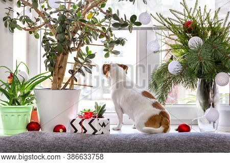 A Dog Sits On A Christmas-decorated Windowsill And Looks Out The Window, Waiting For The Owner.chris