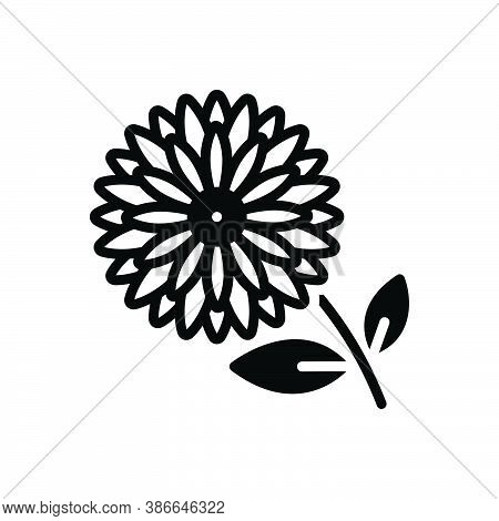Black Solid Icon For Chrysanthemum Daisy Marguerite Camomile Horticulture Blooming Natural Flower Bo