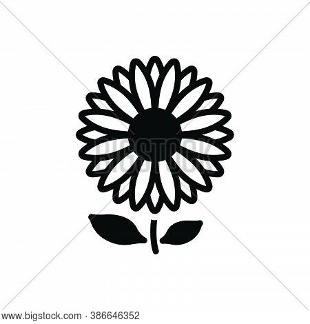 Black Solid Icon For Daisy Bellis-perennis Marguerite Camomile Horticulture Blooming Natural Flower