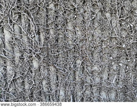 Dried Creeping Fig Plant, Dried Ficus Pumila On Concrete Wall.ficus Pumila Died On The Wall.