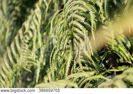 Texture Green Fern Plant. Pattern Of Fern Leaves. It Is A Flowerless Plant That Has Feathery Or Leaf