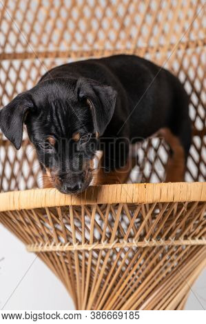 A Portrait Of A Cute Jack Russel Terrier Puppy, Standing On Hind Legs On A Rattan Chair, Isolated On