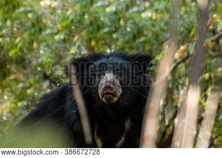 Sloth Bear Or Melursus Ursinus Closeup In Natural Green Background At Ranthambore National Park Or T