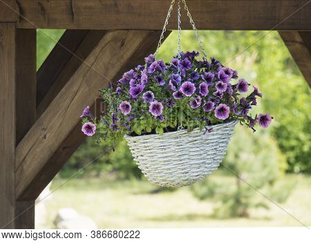 White Wicker Basket, Flower Pot With Violet Geranium Flowers Hanging From Wooden Pergola
