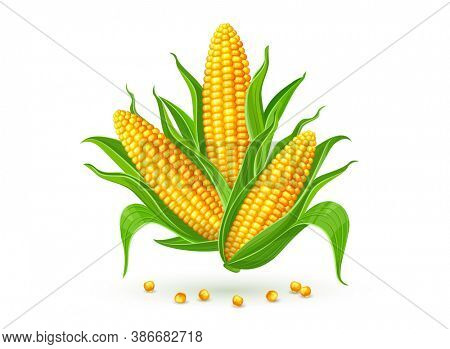 Corncobs with yellow corns and green leaves group, white background. Ripe corn vegetables isolated. 3D illustration.