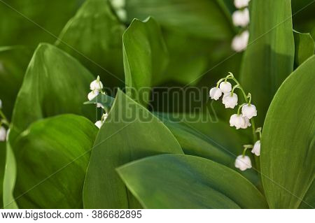 White Convallaria Flower With Green Leaves. Outdoors Bouquet. Majalis Beautiful Wallpaper. Ecology S