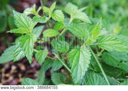 Common Or Stinging Nettle, Urtica Dioica, Small Plant Macro, Selective Focus