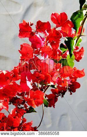 Red Bougainvillea Against A White Wall, Mijas Costa, Costa Del Sol, Malaga Province, Andalucia, Spai