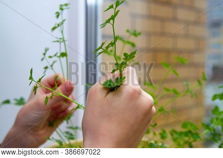 Young Juicy Parsley Leaves At Home On The Windowsill In A Pot. Pluck The Parsley For Seasoning, Add