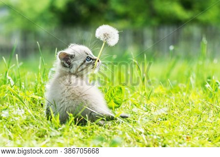 Small kitten cat with blue ayes in green grass with dandelion flower on garden closeup. Animal pets photography