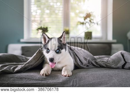 A small white dog puppy breed siberian husky with beautiful blue eyes sleep on grey carpet. Dogs and pet photography