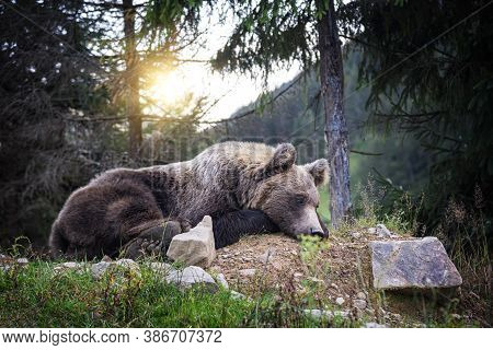 Brown Bear In The Forest. Bear In Its Natural Environment.
