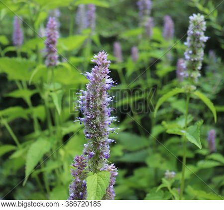 Agastache Rugosa Is A Medicinal And Ornamental Plant. They Are Commonly Known As Korean Mint. Herbs